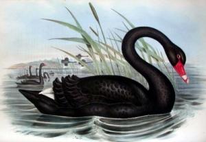 fotos-cisne-negro-nb20358